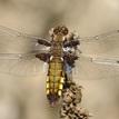 vážka ploská - samica