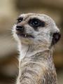 slečna surikata