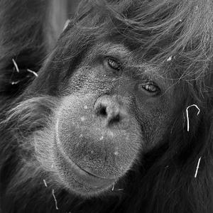 Orangutan Bornejsky