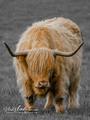 Cow/Skotland