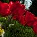 tulipaniky
