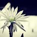 Jednodňový kvet