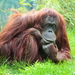 Zamyslený orangutan