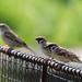 Vrabčeky