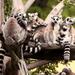 Partia lemurov 2
