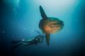 Mola Mola Hunter