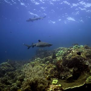Žraločikovia