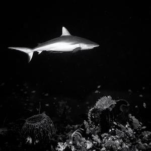 Žralok šedý čiernobiely