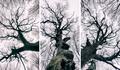 Záhorácke baobaby