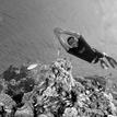 Bear - the freediver / BW