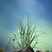 Horská tráva