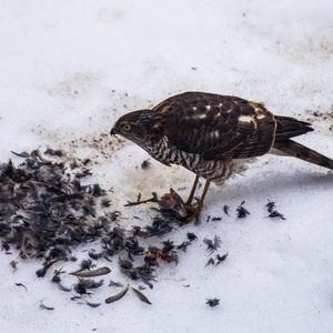 Jastrab vs. Vrabec