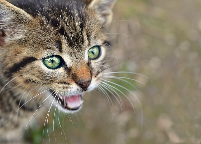 cica I