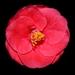 kvet zahalený do tmy