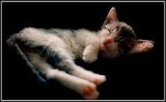 macacia siesta