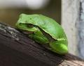 zaburka zelena