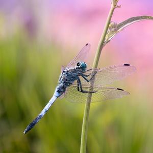 Vážka bielochvostá