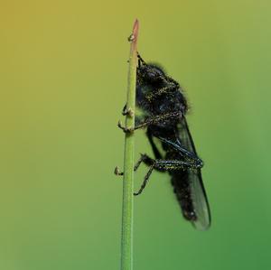 Mušica marcová