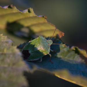 Bzdocha zelená