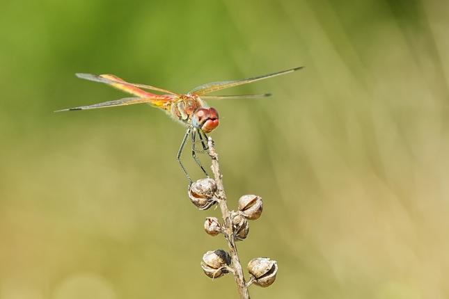 Vážka jarná