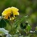 Ruža pre Jula Verna