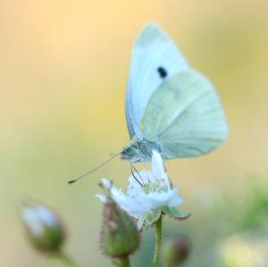 Biele krídla