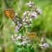 Motýlikovo