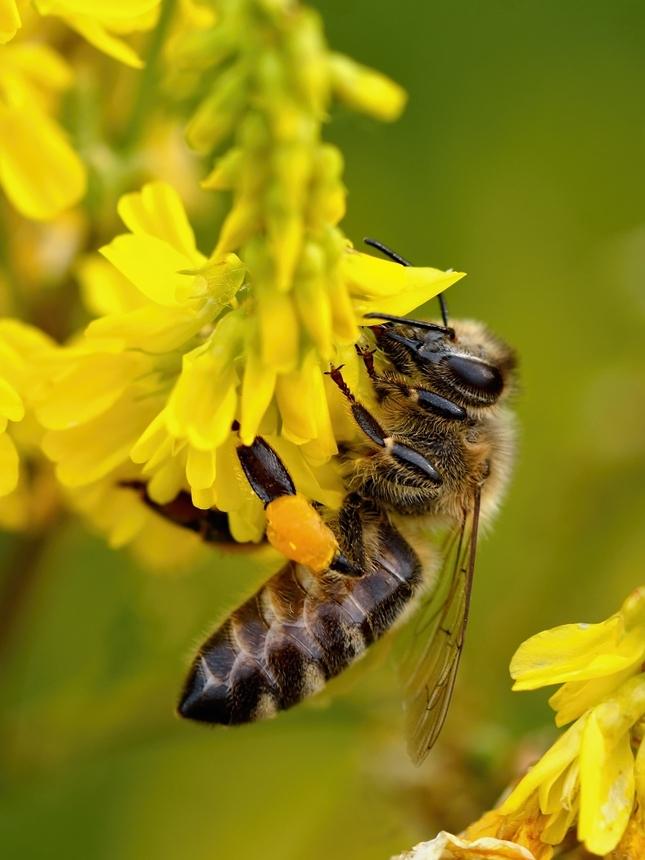 Včela divá
