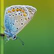 Modráčik obyčajný