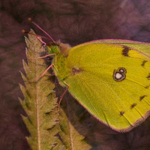 Motýľ v bavlnke