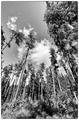 Tatranské stromy