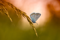 Baton blue
