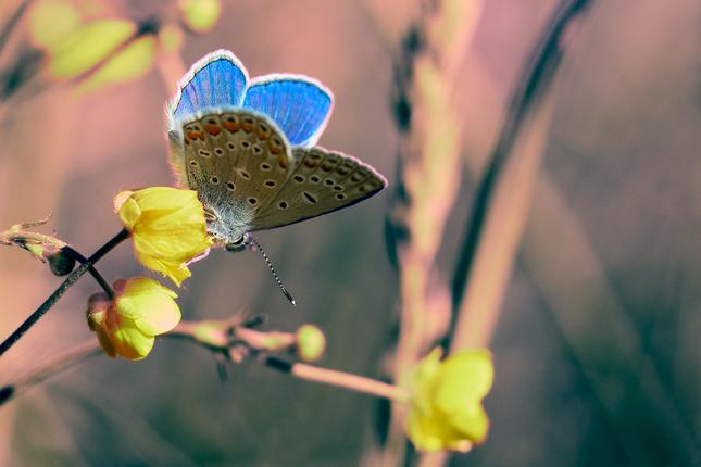 Modráčik v tráve