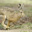 Nebojácny zajko