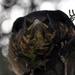drozd čierny - mláďa