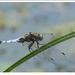 Vážka rybničná
