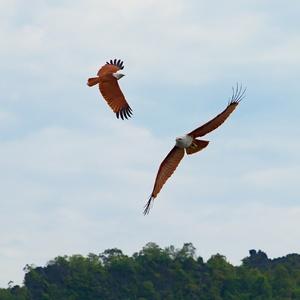 Malajské orly