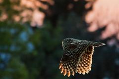 Sova lesná