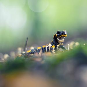 Salamandrová