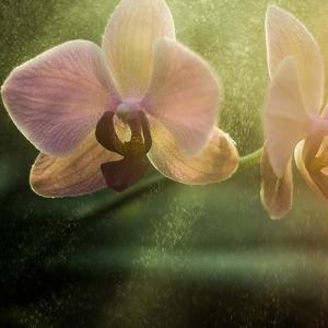 Orchidea_II