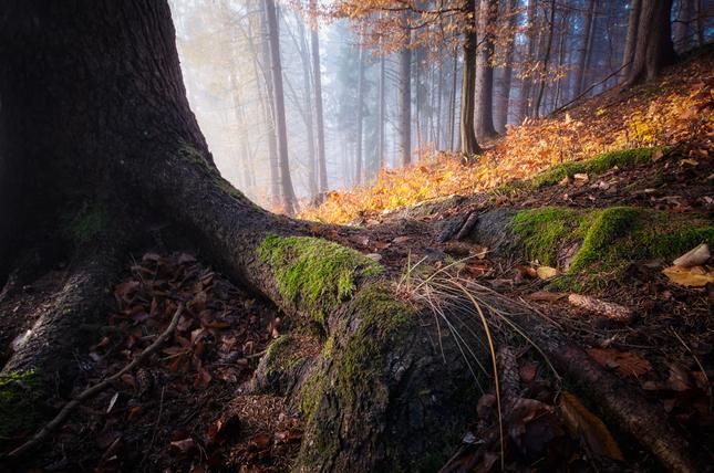koreňová