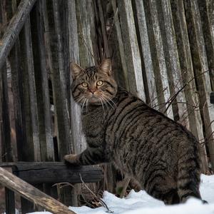 mačka divá - kocur :)