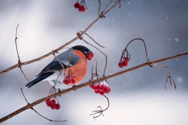 Hýľ lesný - zimná
