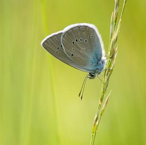 Modráčik lesný