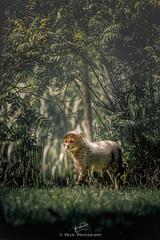 Gepardik