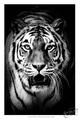 B & W tigrik