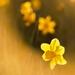 Narcis slnkom zaliaty