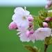 Sakura - kvety