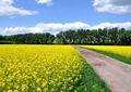 Cesta v žltom poli