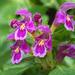 Hluchavka fialová
